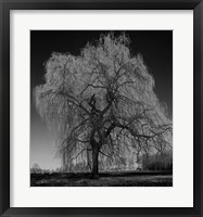 Framed Willow