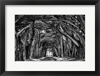 Framed Cypress Trees Black & White