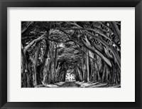 Framed Cypress Trees Black & White