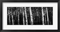 Framed Birch Trees Black & White