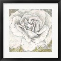 Framed White Rose Blossom Square