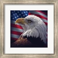 Framed American Bald Eagle