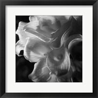 Framed Calla Lilies - Emerging Dawn B&W