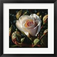 Framed White Rose - First Born