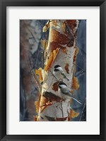 Framed Black-Capped Chickadees - Sunlit Birch II