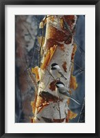 Framed Black-Capped Chickadees - Sunlit Birch II