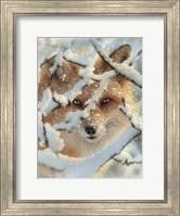 Framed Red Fox - Hide and Seek