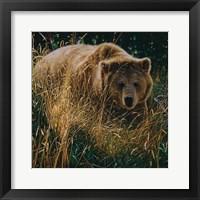 Framed Brown Bear - Crossing Paths