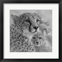 Framed Cheetah Mother and Cubs - Mother's Love - Square - B&W