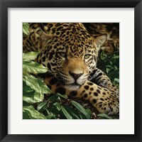 Framed Jaguar - At Rest