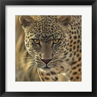 Framed Leopard - On the Prowl - Square