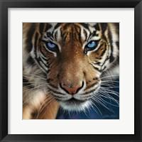 Framed Tiger - Blue Eyes