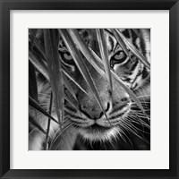Framed Tiger - Blue Eyes Bamboo - B&W