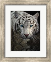 Framed White Tiger - Into the Light