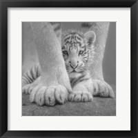 Framed White Tiger Cub - Sheltered - B&W
