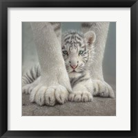 Framed White Tiger Cub - Sheltered