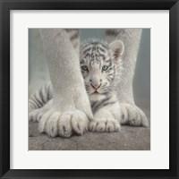 Framed White Tiger Cub - Sheltered