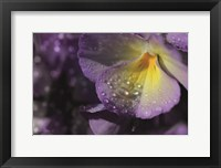 Framed Purple Pansy