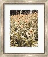 Framed Baby Sunflowers