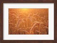 Framed Golden Morning