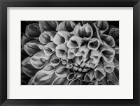 Framed Monochrome Flower 33