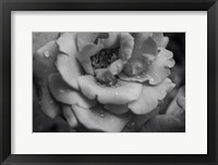 Framed Monochrome Flower 53