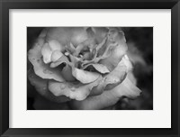 Framed Monochrome Flower 67