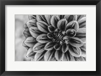 Framed Monochrome Flower 70