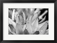 Framed Monochrome Flower 76
