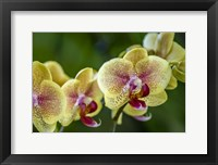 Framed Exotic Orchid 01