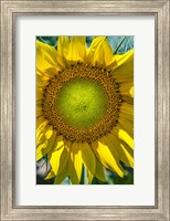 Framed Sunflower Close Up
