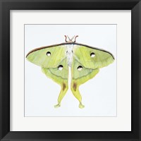 Framed Butterfly Collection Luna Moth
