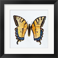Framed Butterfly Collection The Tiger Swallowtail