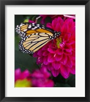 Framed Butterfly 1