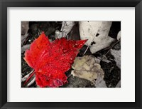 Framed Red Leaf