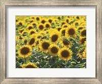 Framed Sunflower 10
