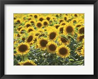 Framed Sunflower 10