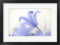 Framed Blue Light Wild Hyacinth