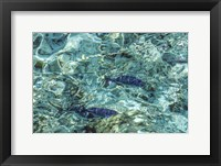 Framed Maldives Fishes in the Clear Water 1