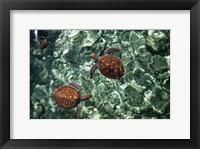 Framed Sea Turtles in Crystal Water