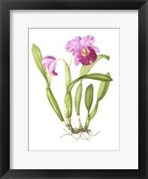 Framed Bodacious Cattleya