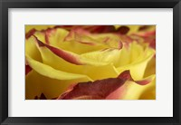 Framed Yellow and Red Rose 1