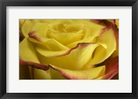 Framed Yellow and Red Rose 2