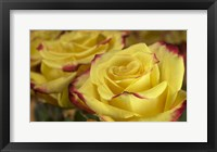 Framed Yellow and Red Rose 3