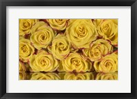 Framed Yellow and Red Rose 6