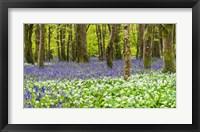 Framed Bluebells and Garlic